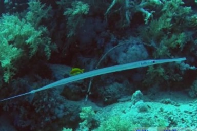 Flötenfisch - Schieb das Bild mal zur...