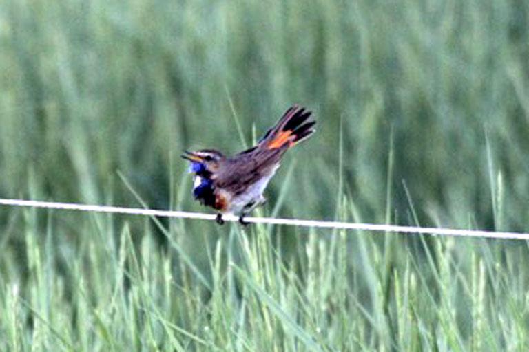 Blaukehlchen / Dieser Vogel ist recht...