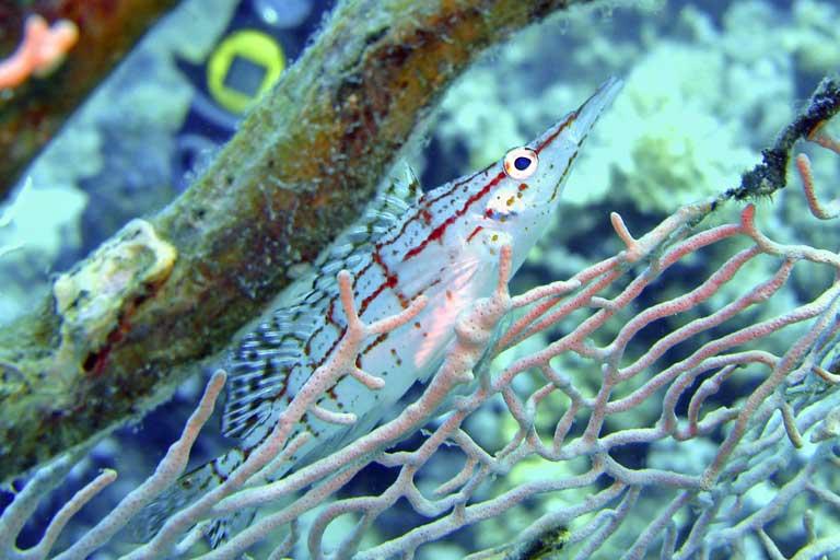 Im Korallengeäst kaum zu entdecken.