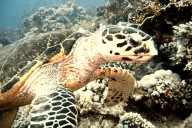 Ägypten, Wasserschildkröte