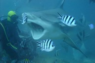 Tim Seiler beim Haitauchen