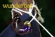 Großer Schillerfalter (Apatura iris) - wunderbar -