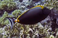 Ägypten - Kuhkopf- Doktorfisch