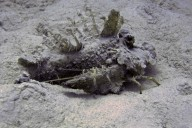 Ägypten - Filament-Teufelsfisch