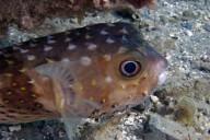 Ägypten -Igelfisch