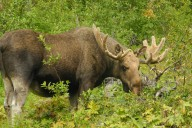 Sarek Nationalpark - Elch